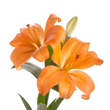 lilies flower orange la hybrid 30 bloom bouquet flower muse