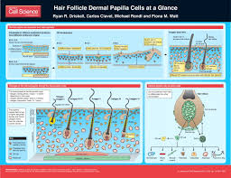 Stem Cells Hair Loss Hair Follicle Dermal Papilla Cells At A Glance Journal Of Cell
