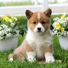 puppies for sale pa pembroke corgi puppies for sale in pa