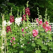 hollyhock flowers hollyhock seeds indian mix