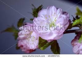 flowering ornamental almond stock photo 464665715