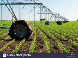 irrigated corn a center pivot irrigation system in a corn field stock photo