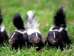 How To Get Rid Of A Skunk In Your Backyard How To Get Rid Of Skunk Smell Helpful Tips For Skunk Spray Removal