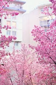 527 best cherry blossoms images on nature and