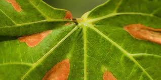 7 most common grapevine diseases