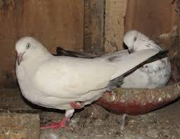 pigeon farming kilimo biashara