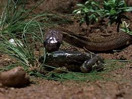 vidio film ular anaconda baby cobra s first hunt
