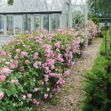 roses ideal for shady areas david austin roses