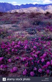 Anza Borrego Wildflowers Super Bloom by Sand Verbena In Coyote Canyon Anza Borrego Desert State Park