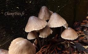 alcali cuisine mycena stipata mycena alcalina mycène cespiteuse mycène à odeur