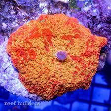 where to buy jawbreakers jawbreaker anemone is the most captive strain