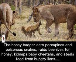 Badger Memes - honey badger doesn t give a fuck animals pinterest honey