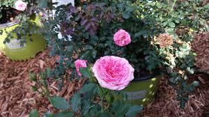 drift roses drift roses for the win tallahassee nurseries