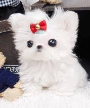 Seeking Teacup Hamilton Teacup Maltese Dogs Puppies For Sale Classifieds At