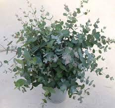 silver drop eucalyptus drop eucalyptus 250 seeds