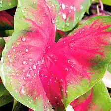 caladium bulbs growing instructions suttons gardening grow how