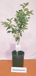 2 3 foot thornless mexican key lime tree in 3 5 gallon pot indoor