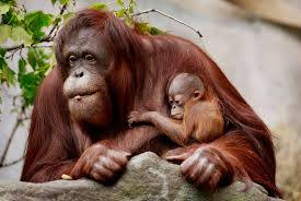 the scoop rare bornean orangutan born at brookfield zoo