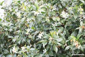 jasmine jasminum plant how to grow and care indoor outdoor