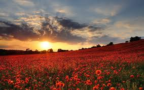 Flower Field Wallpaper - poppy flower field sunset wallpaper 7711 1920x1200 umad com