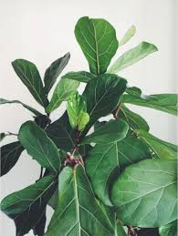 botanical basics fiddle leaf fig u2014 paiko