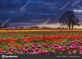 sunset at colorful tulip field u2014 stock photo davidgn 151655986