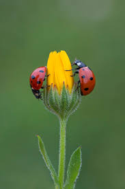 510 best lady bugs images on pinterest lady bugs animals and