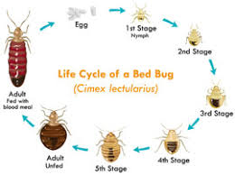 What Kills Bed Bugs Naturally Organic Bed Bug Control Los Angeles Green Bed Bug Extermination