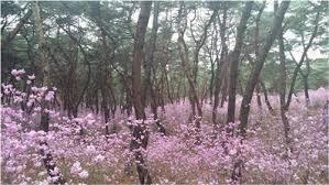 azalea flower garden 진달래 동산 in yeongneung 영릉 u2013 코리아