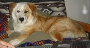 lifespan of australian shepherd australian retriever australian shepherd golden retriever mix