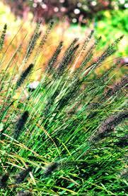 marketing ornamental grasses greenhouse canada