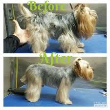 repinned before u0026 after yorkie grooming dog grooming