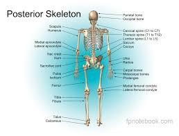 Diagram Of Knee Anatomy Musculoskeletal Anatomy