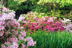 great bulbs and perennials as companion plants for azaleas and
