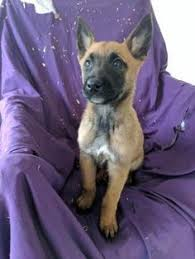 belgian sheepdog breeders in illinois litter of 8 belgian malinois puppies for sale in imperial beach