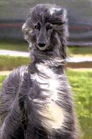 afghan hound weight nahc breed standard