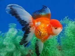622 best goldfish images on beautiful fish aquarium
