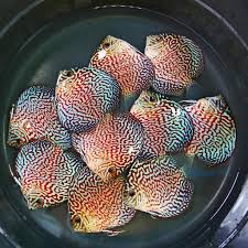 cuisine turquoise สายพ นธ น องปอมปาด วร จากเวป simplydiscus