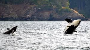 victoria whale watching surrounded by killer whales traveling
