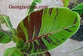 banana plants m musa flash musa helen s hybrid musa helen s