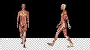 Female Muscles Anatomy Female Muscular System Walk Animation By Handroxg Videohive