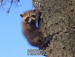Raccoon Meme - funny raccoon meme raccoon pinterest funny raccoons