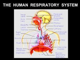Human Anatomy Respiratory System Respiratory System