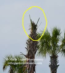 palms when to prune when not to prune in the garden with