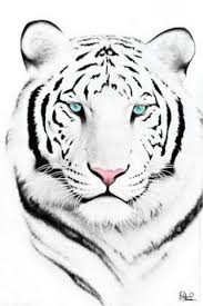 white tiger cool white tigers tiger and