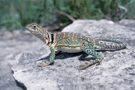 eastern collared lizard mdc discover nature