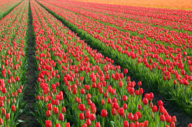 red tulip field free stock photo public domain pictures