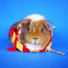 in costumes fuzzberta a fashionable guinea pig who likes to dress up in costume