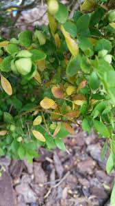 why are my boxwood shrubs dropping yellow leaves gardening