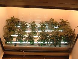 northern lights grow box grow your own bc northern lights producer green